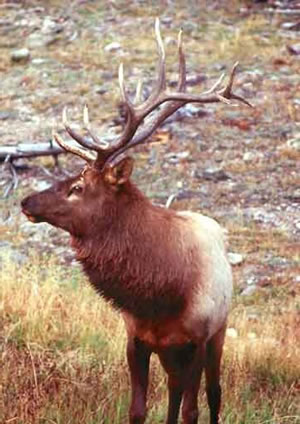 Angel Fire elk