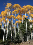 Angel Fire Aspens